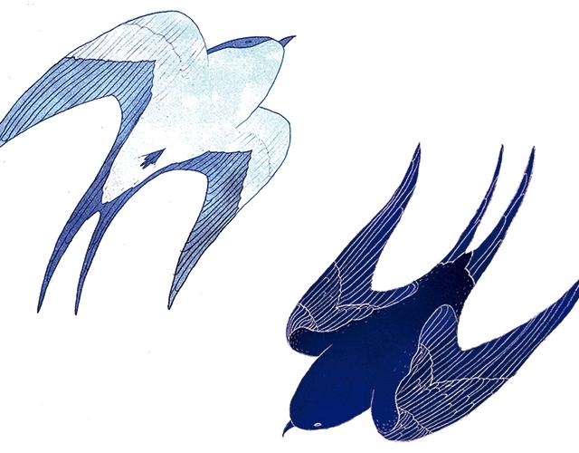 Drosia_illustration_swallow_web